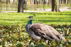 Peacock in the Chopin`s Park in the spring. Peacock in the park in spring with green grass and yellow flowers Stock Image