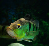 Peacock cichlid Stock Images