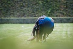 Peacock cleaning itself. At garden Royalty Free Stock Images