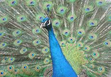 Peacock. Close up Stock Image