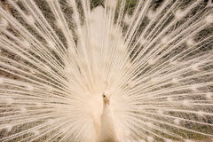 Peacock close up Royalty Free Stock Images