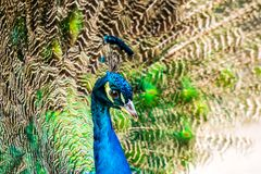 Peacock close-up on the background of fluffy multi-colored tail feathers royalty free stock photo