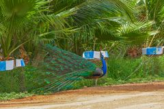 Peacock. Close up head shot stock photography