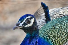 Peacock close up headshot of peacock royalty free stock photo