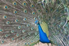 Peacock. Stock Image