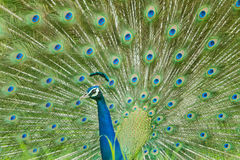 Peacock. A close up look of a peacock Royalty Free Stock Photos