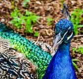 Peacock close-up Royalty Free Stock Image