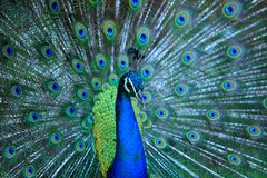 Peacock. Close up of peacock showing its beautiful feathers.Male Royalty Free Stock Image