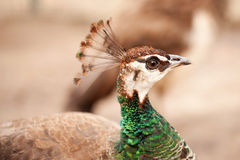 Peacock close-up portrait. Macro. Royalty Free Stock Photos