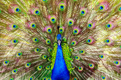 Peacock close up shot Royalty Free Stock Images