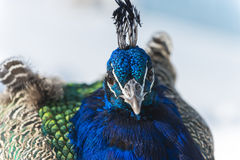 Peacock close-up Stock Images