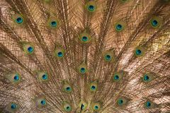 Peacock. Close up of peacock showing its beautiful feathers Royalty Free Stock Image