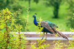 Peacock with closed feathers Royalty Free Stock Photography