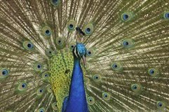 Peacock Closeup. Peacock with open tail front view stock photography