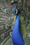 Peacock Closeup 5 Stock Photos