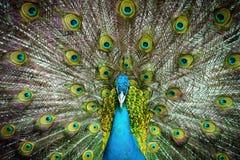 Peacock closeup stock images