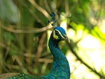 Peacock closeup half profile Stock Photos