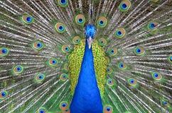 Peacock closeup Stock Photo