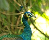 Peacock closeup profile Stock Images
