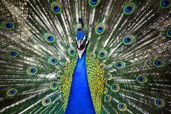 Peacock. A closeup view of an angry peacock Stock Image
