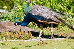 Peacock Cockerel Royalty Free Stock Photos