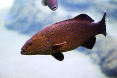 Peacock Cod Stock Photography