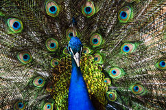Peacock. With colofurl open tail Stock Image