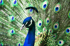 Peacock. With colofurl open tail Royalty Free Stock Photography