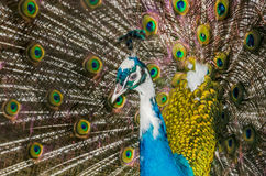 Peacock with colored feathers Stock Photos