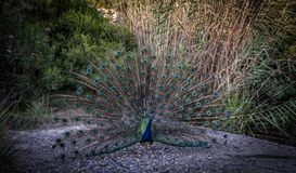 Peacock with a colored tail on the background of bushes royalty free stock photos