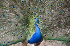 Peacock. The peacock is so colorful Royalty Free Stock Images