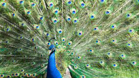 Peacock with colorful feathers. A beautiful peacock with colorful feathers stock image