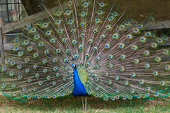 Peacock. Colorful peacock with feathers fanned out stock photos