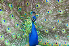 Peacock with colorful feathers fanned out. On display royalty free stock photography