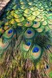 Peacock colorful feathers. Peacock colorful feather closeup background stock image