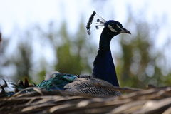 Peacock with colorful feathers sitting on a nest.  royalty free stock photography