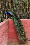 Peacock with colorful plumage Royalty Free Stock Photos
