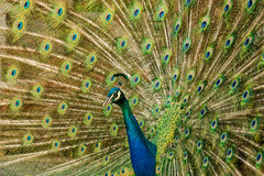 Peacock with colorful spread feathers Stock Photos