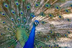 Peacock with colorful spread feathers. Animal background. Horizontal Royalty Free Stock Photos