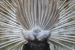 Peacock with colorful spread feathers. Back side. Stock Photography
