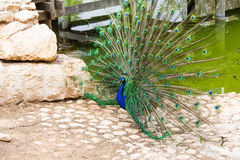 Peacock with colorful tail Royalty Free Stock Photos