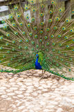Peacock with colorful tail Stock Photos