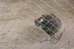 Peacock of conserve bird are trapped inside a cage. Royalty Free Stock Photography