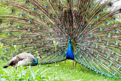Peacock couple (Pavo cristatus) Stock Photos