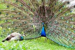 Peacock couple (Pavo cristatus). Lovemaking of peacocks (Pavo cristatus stock photos