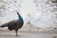 White peacock shows its tail feather. Peacock courting ritual, peahen looks at male Stock Image