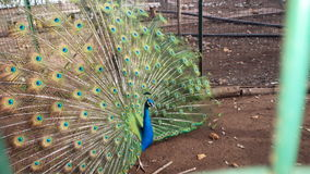 Peacock. The courtship green Stock Image