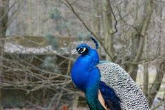 peacock Cristatus selvagem indiano do Pavo do pavão imagens de stock