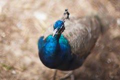 peacock Cristatus selvagem indiano do Pavo do pavão Retrato de um bea imagens de stock royalty free