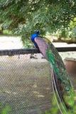 peacock Cristatus selvagem indiano do Pavo do pavão Retrato de um bea foto de stock